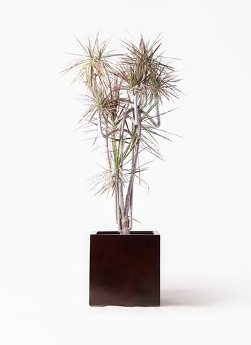 観葉植物 ドラセナ コンシンネ レインボー 10号 曲り MOKU キューブ 付き