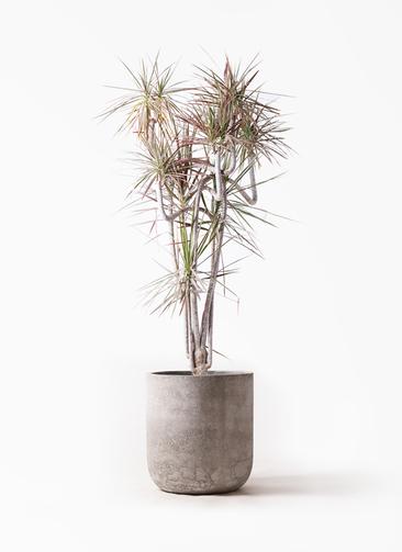 観葉植物 ドラセナ コンシンネ レインボー 10号 曲り エルバ 白 付き