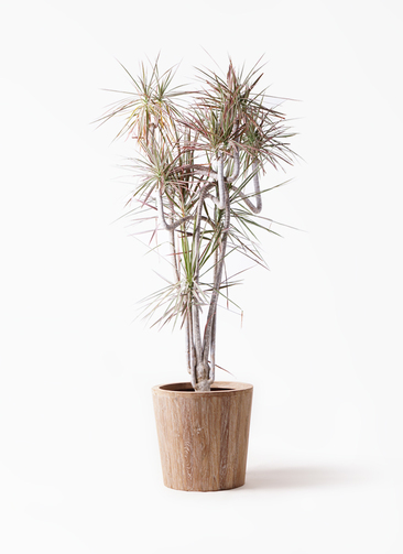 観葉植物 ドラセナ コンシンネ レインボー 10号 曲り ウッドプランター 付き