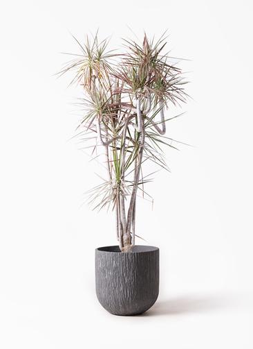 観葉植物 ドラセナ コンシンネ レインボー 10号 曲り カルディナダークグレイ 付き