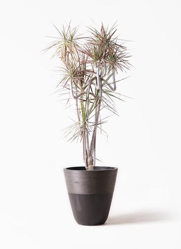観葉植物 ドラセナ コンシンネ レインボー 10号 曲り ジュピター 黒 付き