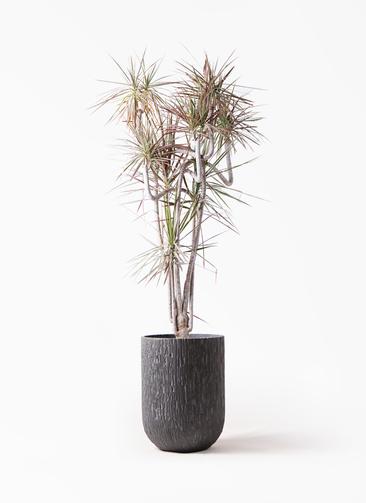 観葉植物 ドラセナ コンシンネ レインボー 10号 曲り カルディナトールダークグレイ 付き