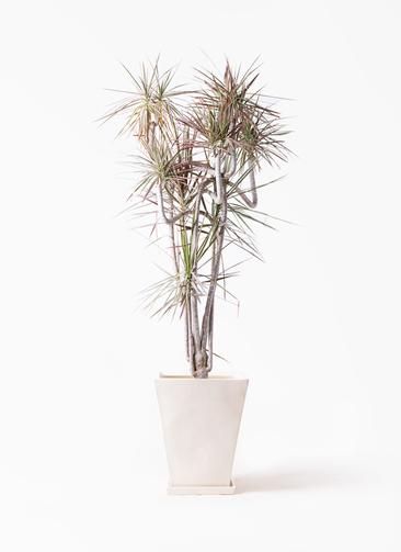 観葉植物 ドラセナ コンシンネ レインボー 10号 曲り スクエアハット 白 付き
