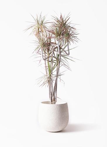 観葉植物 ドラセナ コンシンネ レインボー 10号 曲り エコストーンwhite 付き