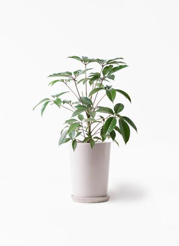 観葉植物 ツピダンサス 8号 ボサ造り LO ラウンド 付き