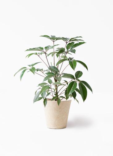 観葉植物 ツピダンサス 8号 ボサ造り フォリオソリッド クリーム 付き