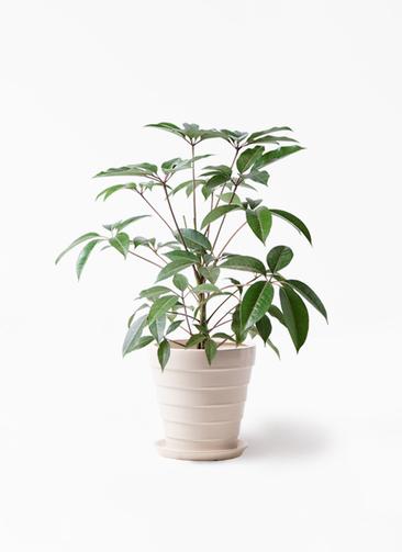 観葉植物 ツピダンサス 8号 ボサ造り サバトリア 白 付き