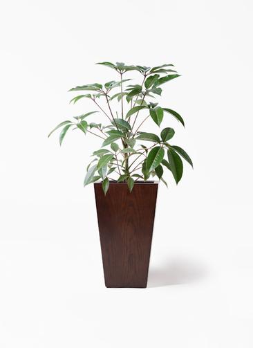 観葉植物 ツピダンサス 8号 ボサ造り MOKU スクエア 付き
