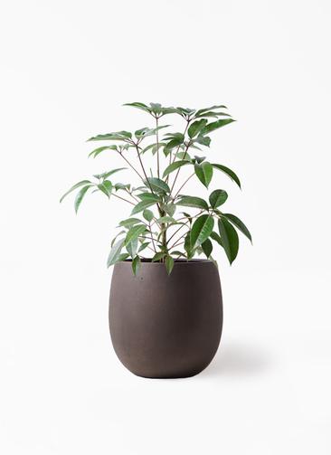 観葉植物 ツピダンサス 8号 ボサ造り テラニアス バルーン アンティークブラウン 付き