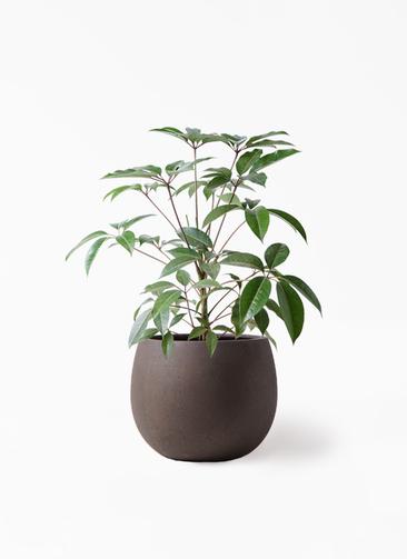 観葉植物 ツピダンサス 8号 ボサ造り テラニアス ローバルーン アンティークブラウン 付き