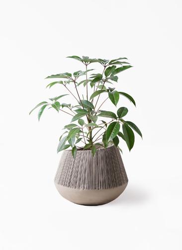 観葉植物 ツピダンサス 8号 ボサ造り エディラウンド グレイ 付き
