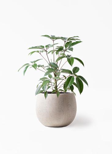 観葉植物 ツピダンサス 8号 ボサ造り テラニアス ローバルーン アンティークホワイト 付き