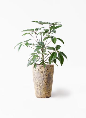 観葉植物 ツピダンサス 8号 ボサ造り アトランティス クルーシブル 付き