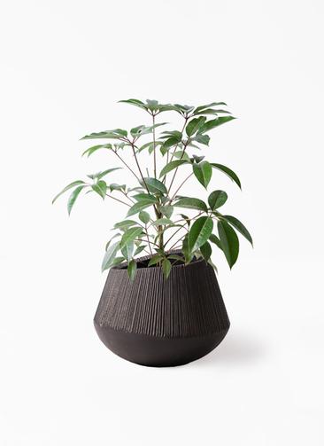 観葉植物 ツピダンサス 8号 ボサ造り エディラウンド 黒 付き
