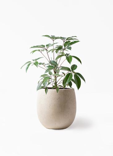 観葉植物 ツピダンサス 8号 ボサ造り テラニアス バルーン アンティークホワイト 付き