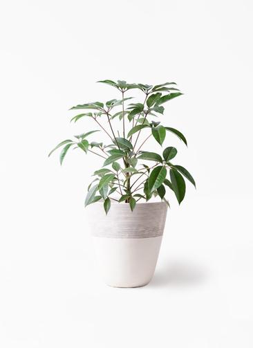 観葉植物 ツピダンサス 8号 ボサ造り ジュピター 白 付き