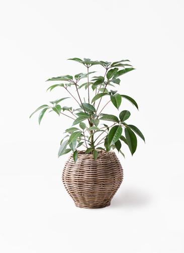観葉植物 ツピダンサス 8号 ボサ造り グレイラタン 付き