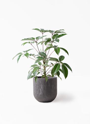 観葉植物 ツピダンサス 8号 ボサ造り カルディナダークグレイ 付き
