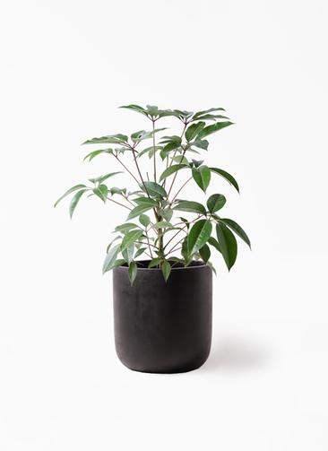 観葉植物 ツピダンサス 8号 ボサ造り エルバ 黒 付き
