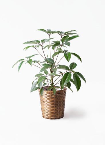 観葉植物 ツピダンサス 8号 ボサ造り 竹バスケット 付き