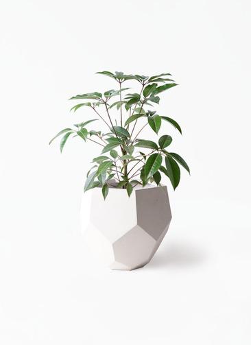 観葉植物 ツピダンサス 8号 ボサ造り ポリゴヘクサ 白 付き