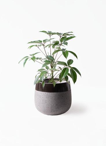 観葉植物 ツピダンサス 8号 ボサ造り ファイバーストーンタウルス 黒 付き