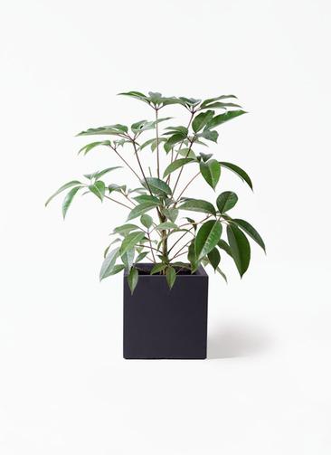 観葉植物 ツピダンサス 8号 ボサ造り ベータ キューブプランター 黒 付き