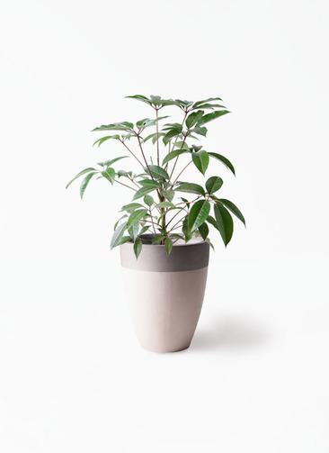 観葉植物 ツピダンサス 8号 ボサ造り ファイバーストーンカプリ サンディホワイト 付き