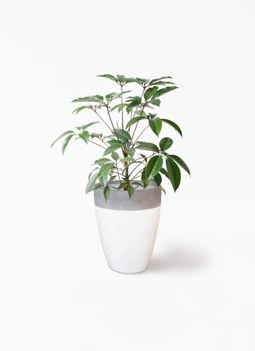観葉植物 ツピダンサス 8号 ボサ造り ファイバーストーンカプリ 白 付き