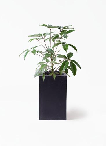 観葉植物 ツピダンサス 8号 ボサ造り セドナロング 墨 付き