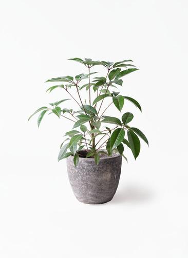 観葉植物 ツピダンサス 8号 ボサ造り アビスソニアミドル 灰 付き