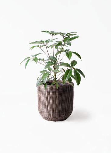 観葉植物 ツピダンサス 8号 ボサ造り ウィッカーポットエッグ 茶 付き