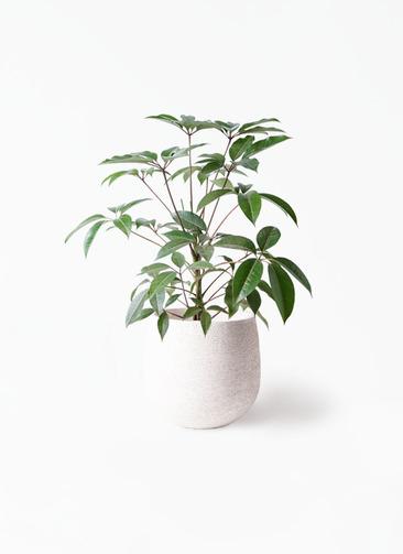 観葉植物 ツピダンサス 8号 ボサ造り エコストーンwhite 付き