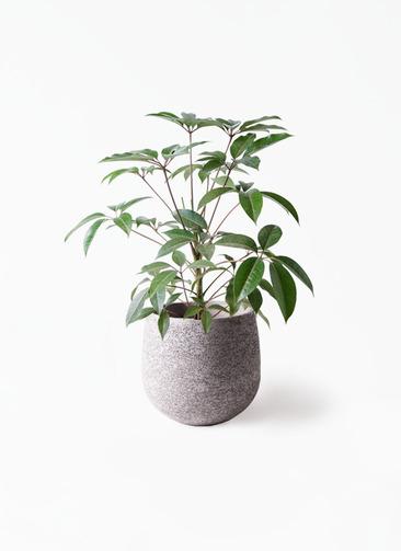 観葉植物 ツピダンサス 8号 ボサ造り エコストーンGray 付き