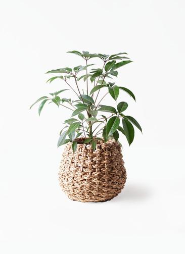 観葉植物 ツピダンサス 8号 ボサ造り ラッシュバスケット Natural 付き