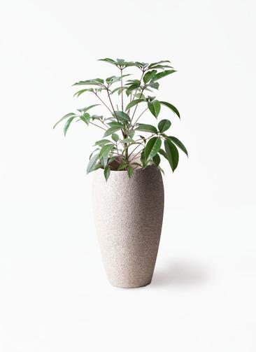 観葉植物 ツピダンサス 8号 ボサ造り エコストーントールタイプ Light Gray 付き