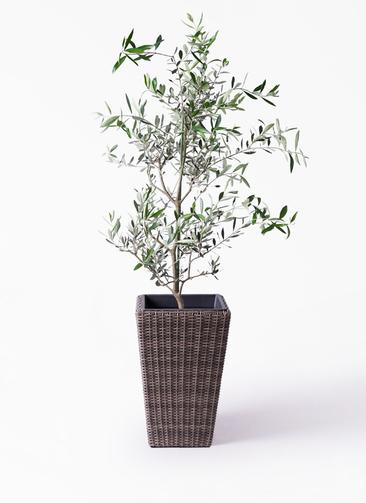 観葉植物 オリーブの木 8号 コレッジョラ ウィッカーポット スクエアロング OT 茶 付き