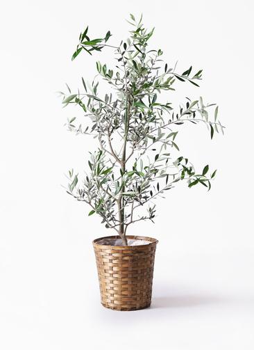 観葉植物 オリーブの木 8号 コレッジョラ 竹バスケット 付き