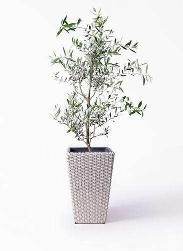 観葉植物 オリーブの木 8号 コレッジョラ ウィッカーポット スクエアロング OT 白 付き