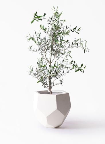 観葉植物 オリーブの木 8号 コレッジョラ ポリゴヘクサ 白 付き