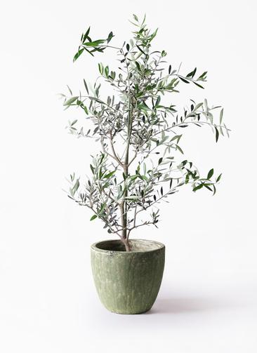観葉植物 オリーブの木 8号 コレッジョラ アビスソニアミドル 緑 付き