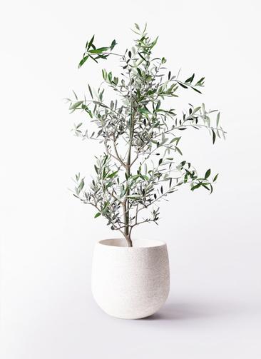 観葉植物 オリーブの木 8号 コレッジョラ エコストーンwhite 付き