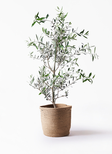 観葉植物 オリーブの木 8号 コレッジョラ リブバスケットNatural 付き