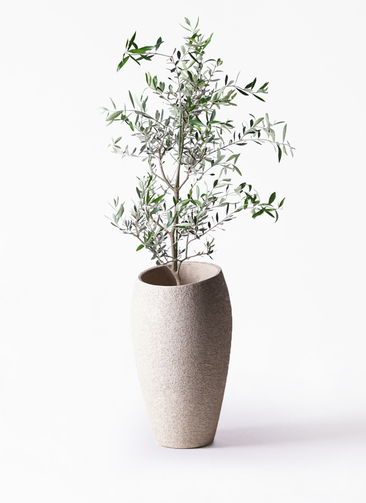 観葉植物 オリーブの木 8号 コレッジョラ エコストーントールタイプ Light Gray 付き