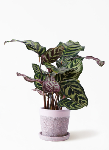 観葉植物 カラテア マコヤナ 4号 ハレー ピンク 付き