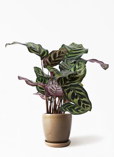 観葉植物 カラテア マコヤナ 4号 アステア トール ブラウン 付き