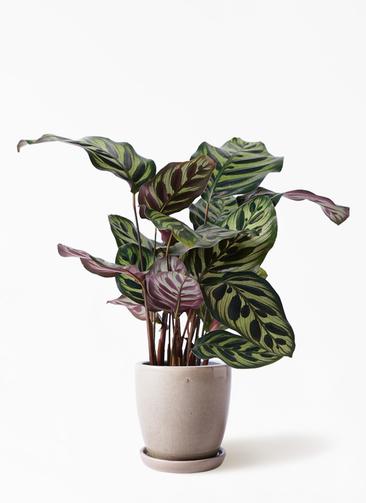観葉植物 カラテア マコヤナ 4号 アステア トール ベージュ 付き