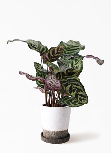 観葉植物 カラテア マコヤナ 4号 ヴィフポット ホワイト 付き