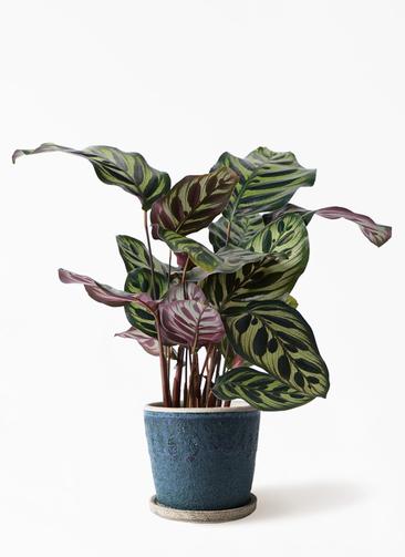 観葉植物 カラテア マコヤナ 4号 フェイバーポット ブルー 付き