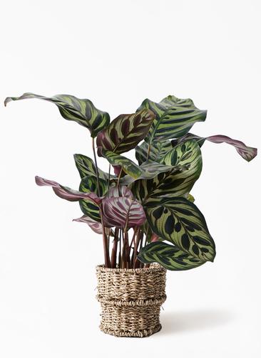 観葉植物 カラテア マコヤナ 4号 バスケット 付き
